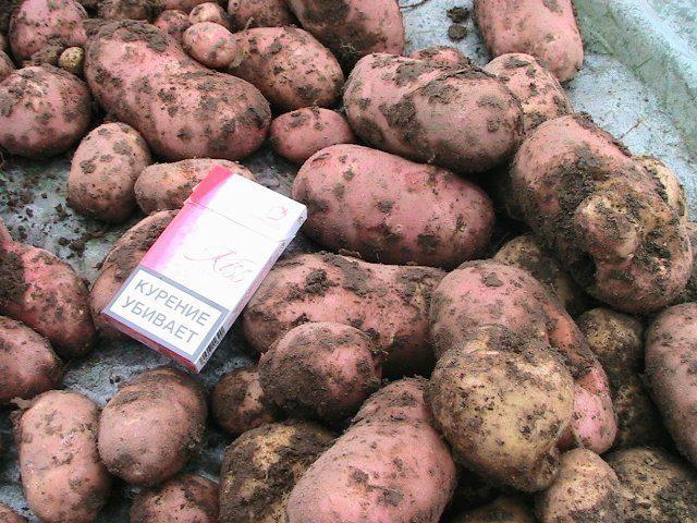картошка крымская роза описание фото незаменимый вариант